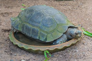 Giant tortoise sleep on jardiniere