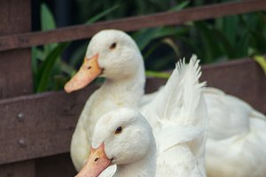 Muscovy white ducks