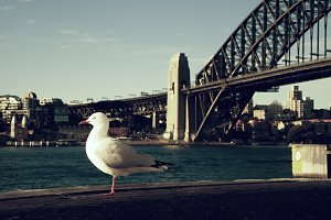 Sea Gull posing in Sydney Harbour