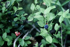 Forest blueberry