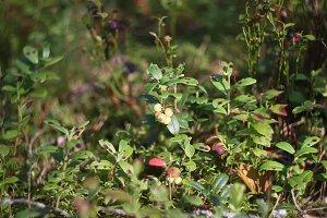 Forest unripe blueberries