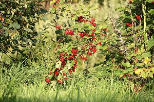 Red currants bush in the garden