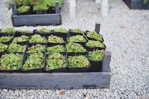 Succulent plants in wood box