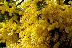 Flowering Yellow Mimosa