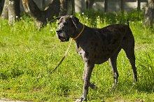 Dog breed German dog for a walk