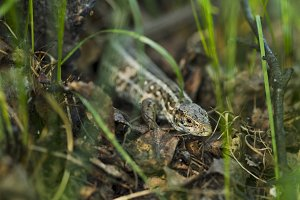 Forest lizard hidden in the grass