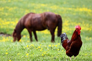Rooster and horse