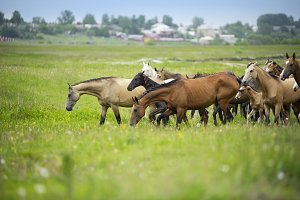 Horses herd on a pasture