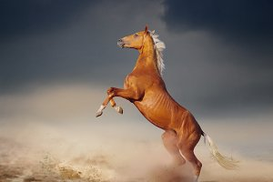 akhal-teke horse rears