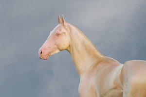 gold perlino akhal-teke horse