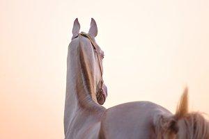 perlino horse on a golden sunrise