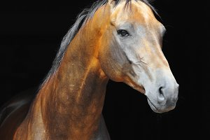 gold light-bay akhal-teke horse