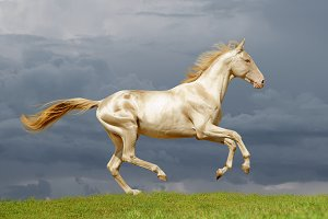 golden perlino horse