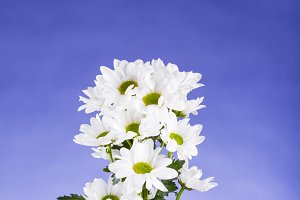 Bouquet of daisies on blue background