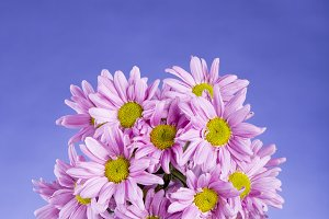 Bouquet of pink daisies on a blue background