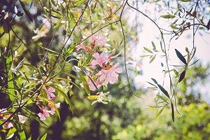 iseeyouphoto pinkoleander