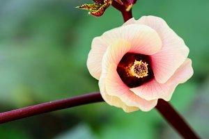 Pink flower of Jamaica Sorrel