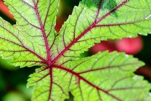 leaf of Jamaica Sorrel