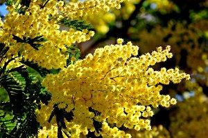 splendid mimosa