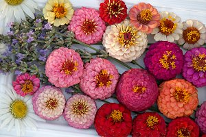 colored zinnias and daisies