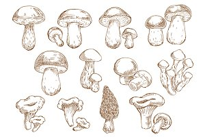 Sketches of edible mushrooms