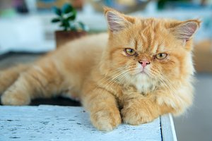 portrait of lying persian cat
