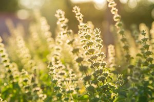 Holy basil flowers in morning