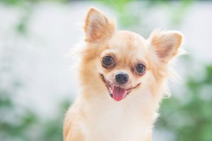 happy chihuahua dog
