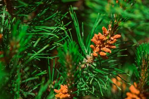 decorative pine bush on a background of leaves