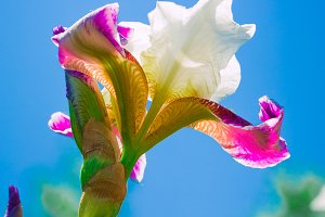pink iris flower against the blue sky