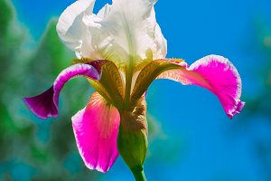 pink iris flower against the blue sky