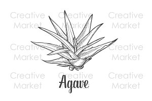 Agave hand drawn illustration