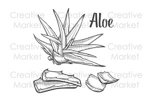 Aloe vera hand drawn illustration