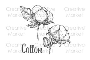 Cotton hand drawn illustration