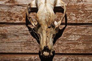 Canine skull closeup