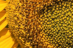 Macro of beautiful bright sunflower