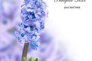 Three blue flowers hyacinthes