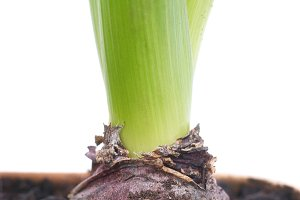 Bulb of hyacinth in the soil