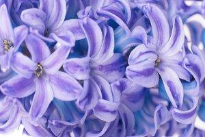 Beautiful blue flowers hyacinthes