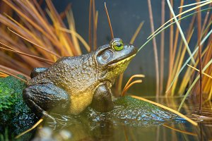 Brown- green frog in the grass