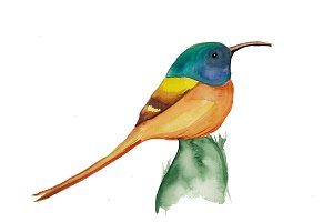 Exotic bird watercolor