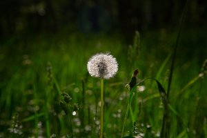 fluffy white dandelion