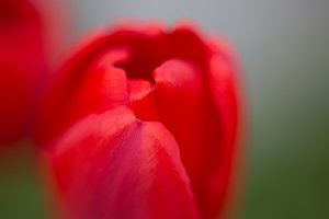 Bud of the red tulip