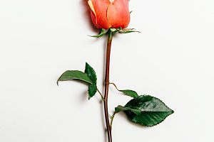 Top view of rose over white background