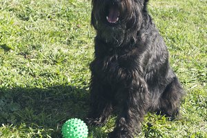 dog, schnauzer