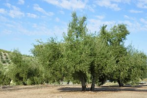 olive groves in Jaen, andalucia
