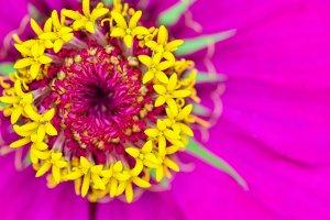 Macro yellow carpel on pink petals