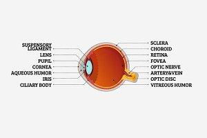 Human Eye Cross-Section
