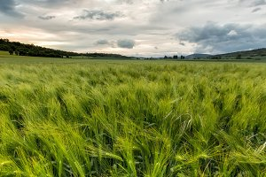 Green wheat cereal field