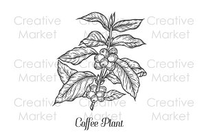 Coffee plant hand drawn illustration